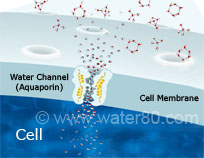 Large Water Clusters are Resisted by the Cell Membrane